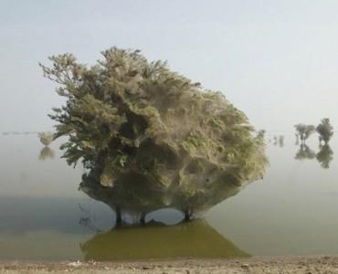 Spiderweb Tree