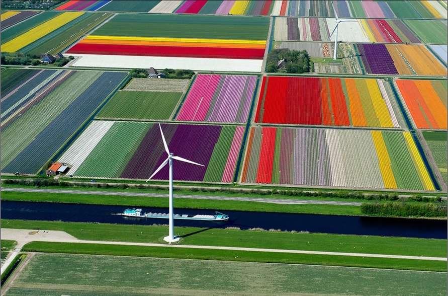 Tulip Fields in Spoorbuurt, North Holland, Netherlands