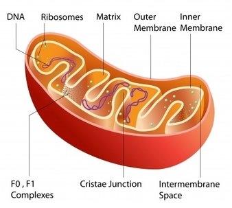 depression-mitochondria